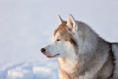 Wspaniały, bezpłatny i szczęśliwy siberian husky psa obsiadanie na śniegu w zima lesie przy zmierzchem, obraz royalty free