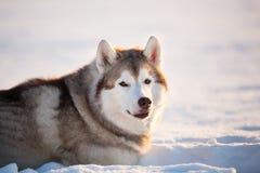 Wspaniały, bezpłatny i szczęśliwy siberian husky psa obsiadanie na śniegu w zima lesie przy zmierzchem, zdjęcia royalty free