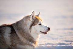 Wspaniały, bezpłatny i szczęśliwy siberian husky psa obsiadanie na śniegu w zima lesie przy zmierzchem, fotografia royalty free