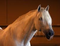 Wspaniały biały andalusian hiszpański ogier, zadziwiający arabski koń Zdjęcie Royalty Free