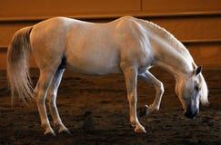 Wspaniały biały andalusian hiszpański ogier, zadziwiający arabski koń Zdjęcie Stock