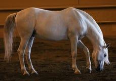 Wspaniały biały andalusian hiszpański ogier, zadziwiający arabski koń Fotografia Stock