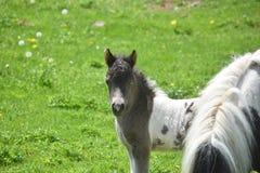 Wspaniały Biały i Czarny Miniaturowy koń w trawa paśniku Zdjęcia Stock