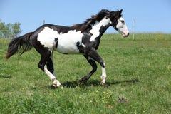 Wspaniały czarny i biały ogier farba konia bieg Zdjęcia Stock