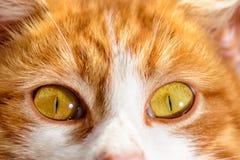 Wspaniały czerwony kot z żółtymi oczami zamyka up na niebieskiego nieba tle zdjęcie stock