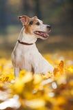 Wspaniały dźwigarki Russell teriera obsiadanie w żółtych liściach fotografia royalty free