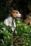 Wspaniały dźwigarki Russell teriera obsiadanie w ogródzie fotografia stock
