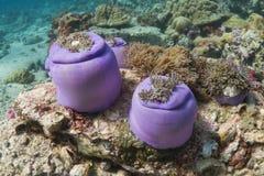 Wspaniały denny anemon (Heteractis Magnifica) obraz royalty free