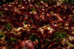 Wspaniały jaskrawy pole Aeonium Zwartkop lub ` Jack Catlin ` rozmaitości roślina zdjęcie stock