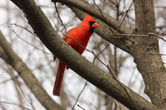 Wspaniały kardynał Zdjęcia Stock