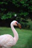 Wspaniały Lesser flaminga ptaka Up zakończenie Obraz Stock
