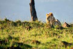 Wspaniały lew lub Panthera Leo lying on the beach w Afrykańskiej sawannie zdjęcie royalty free