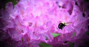 Wspaniały mamrocze pszczoły! Obraz Stock