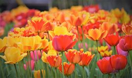 Wspaniały piękno kolorowi tulipany! Obrazy Stock