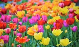 Wspaniały piękno tulipany! Zdjęcie Stock