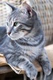 Wspaniały Popielaty kota Odpoczywać Zdjęcia Stock