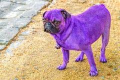 Wspaniały purpurowy mops patrzeje kamerę Obrazy Royalty Free