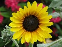 Wspaniały Słonecznikowy dzień Obrazy Stock