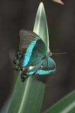 Wspaniały Szmaragdowy Swallowtail motyl który Błyska Obraz Royalty Free