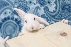 Wspaniały uroczy dziecko królik lop patrzeć ciekawie przy kamerą Odbitkowa przestrzeń dla sztandaru lub wiadomości Obrazy Stock