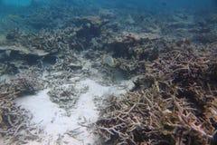 Wspaniały widok podwodny świat _ Maldives, ocean indyjski Nieżywi rafowi korale i piękne ryba w błękitne wody obraz stock