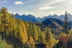 Wspaniały widok z złotego modrzewia lasem w przedpolu i zdjęcia royalty free
