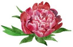 Wspaniały zmrok - czerwony peonia kwiat z liśćmi akwareli illustra Zdjęcia Royalty Free