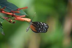Wspaniały Zuleika motyl Przylega kwiatu pączek Fotografia Royalty Free