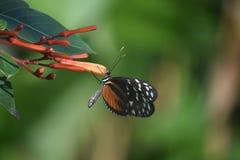Wspaniały Zuleika Motyli obsiadanie na Pomarańczowym kwiatu pączku Obraz Stock