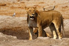 Wspaniała lew duma wpólnie Fotografia Stock