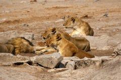 Wspaniała lew duma wpólnie Zdjęcie Royalty Free