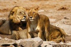 Wspaniała lew duma wpólnie Zdjęcia Royalty Free