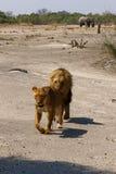 Wspaniała lew duma wpólnie Fotografia Royalty Free