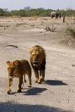 Wspaniała lew duma wpólnie Obraz Royalty Free
