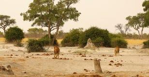 Wspaniała lew duma wpólnie na spieczonych równinach Afryka Fotografia Stock