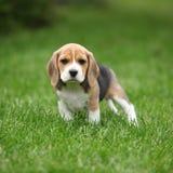 Wspaniały beagle szczeniak w ogródzie Obraz Royalty Free