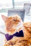 Wspaniały Czerwony kot Odpoczywa na bielu stole z laptopem w Jego biurze z Motylim krawatem Obrazy Royalty Free