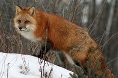 Wspaniały czerwony lis Zdjęcia Royalty Free