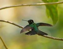Wspaniały Hummingbird w Panama Fotografia Stock