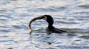 wspaniały kormoranów Fotografia Royalty Free