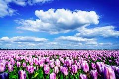 Wspaniały pole tulipany w Holandia obraz stock