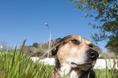 Wspaniały Psi lying on the beach w trawie Obrazy Stock