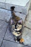 Wspaniały tortoiseshell kota portret Obrazy Stock