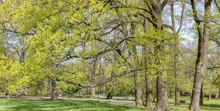 Wspaniali antyczni bukowi drzewa Obraz Royalty Free