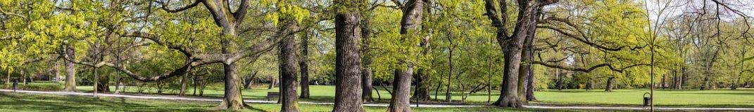Wspaniali antyczni bukowi drzewa Zdjęcia Royalty Free