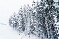 Wspaniali biali drzewa pełno śnieg na wzgórzu Fotografia Royalty Free