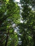 Wspaniali drzewa w Kolońskim lesie obraz stock