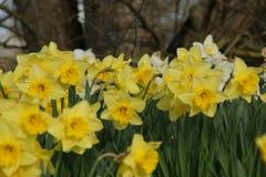 Wspaniali kwiaty z żółtym skocznym kolorem Frontowy widok Obraz Royalty Free