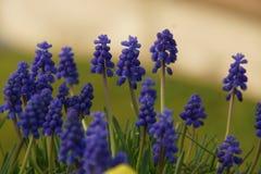 Wspaniali kwiaty z fiołkowym skocznym kolorem Frontowy widok Obraz Stock