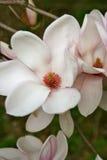 Wspaniali magnolia kwiaty, pączek i Fotografia Royalty Free